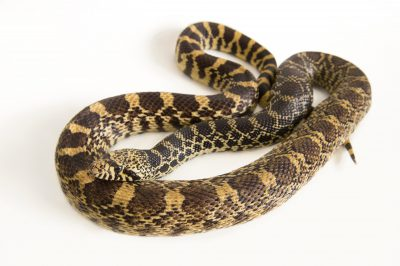 Picture of a Sonoran gopher snake (Pituophis catenifer affinis) at the Point Defiance Zoo.
