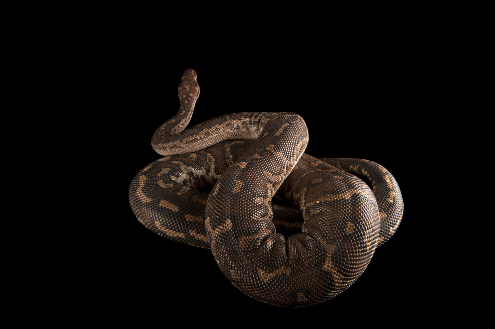 An Angolan python (Python anchietae) at the Omaha Zoo.