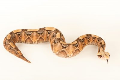 A West African gaboon viper (Bitis gabonica rhinoceros) at Zoo Atlanta.