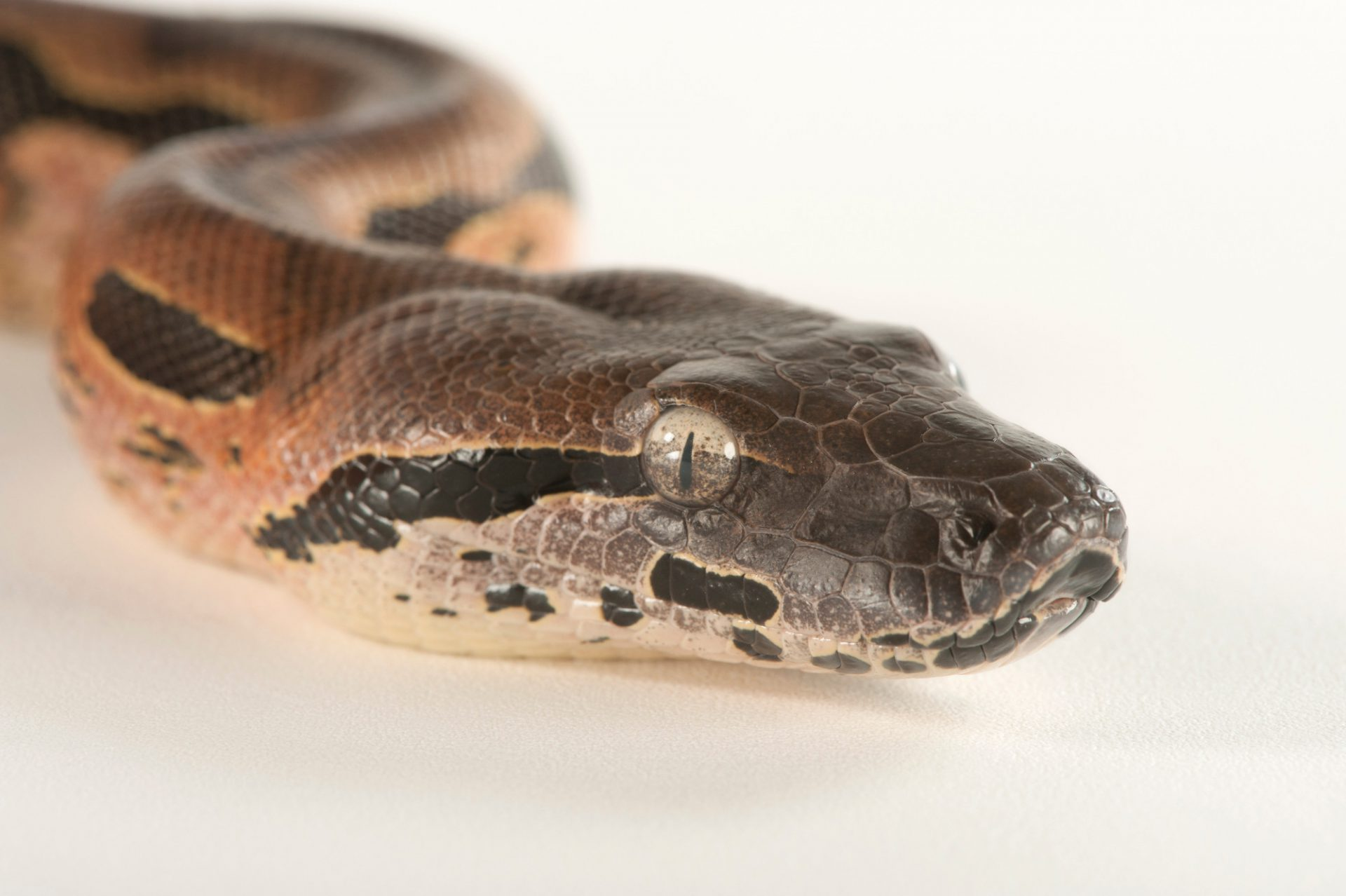 Madagascar ground boa (Acrantophis madagascariensis) at Tampa's Lowry Park Zoo.