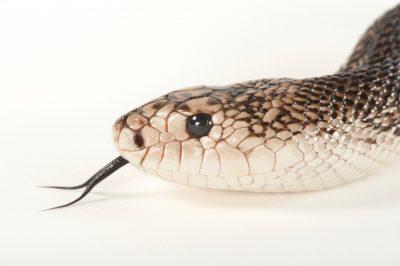 Florida pine snake (Pituophis melanoleucus mugitus) at Tampa's Lowry Park Zoo.