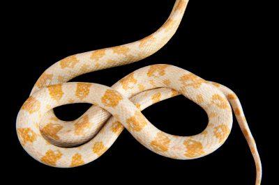 Snow corn snake (Pantherophis guttatus) at Tampa's Lowry Park Zoo.