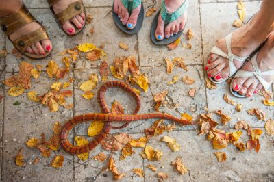 Photo: An orange corn snake, Sea Island, Georgia.