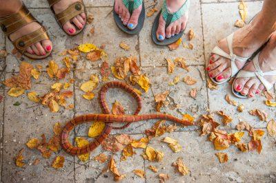 Photo: An orange corn snake, Sea Island, Georgia.
