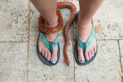 Photo: An orange corn snake wraps around a woman's feet, Sea Island, Georgia.