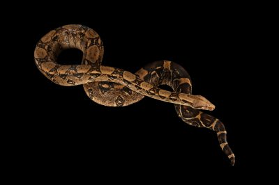 Picture of a red-tailed boa (Boa constrictor) at the Lincoln Children's Zoo.