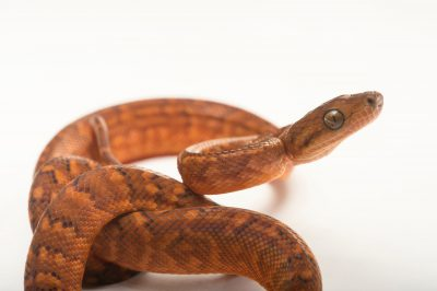 A critically endangered (IUCN) and federally endangered, juvenile Jamaican boa (Chilabothrus subflavus) from a private collection. The adults are yellow.