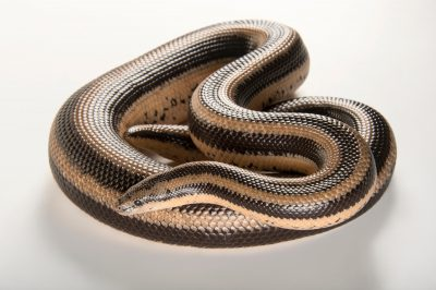 A Mexican rosy boa (Lichanura trivirgata trivirgata) at the Indianapolis Zoo.