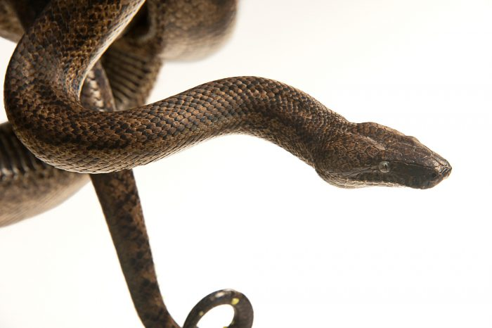 Picture of a Puerto Rican boa (Chilabothrus inornatus) at the Palm Beach Zoo.