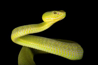 A Pope's tree viper (Trimeresurus popeorum) from a private collection.