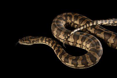 Picture of a coastal carpet python (Morelia spilota mcdowelli) at Wild Life Sydney Zoo.