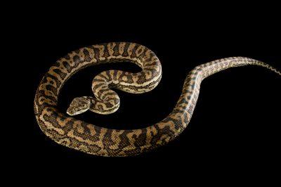 Picture of a Southern carpet python (Morelia spilota imbricata) at Wild Life Sydney Zoo.