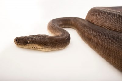 Picture of an olive python (Liasis olivaceus olivaceus) at Wild Life Sydney Zoo.