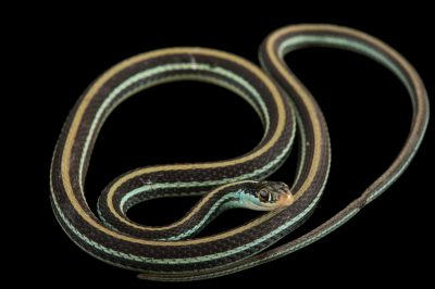 Picture of an Eastern ribbon snake or common ribbon snake (Thamnophis sauritus sauritus) at the National Mississippi River Museum and Aquarium in Dubuque, Iowa.