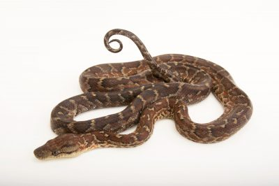 A Dominican red mountian boa (Epicrates striatus striatus) from a private collection.