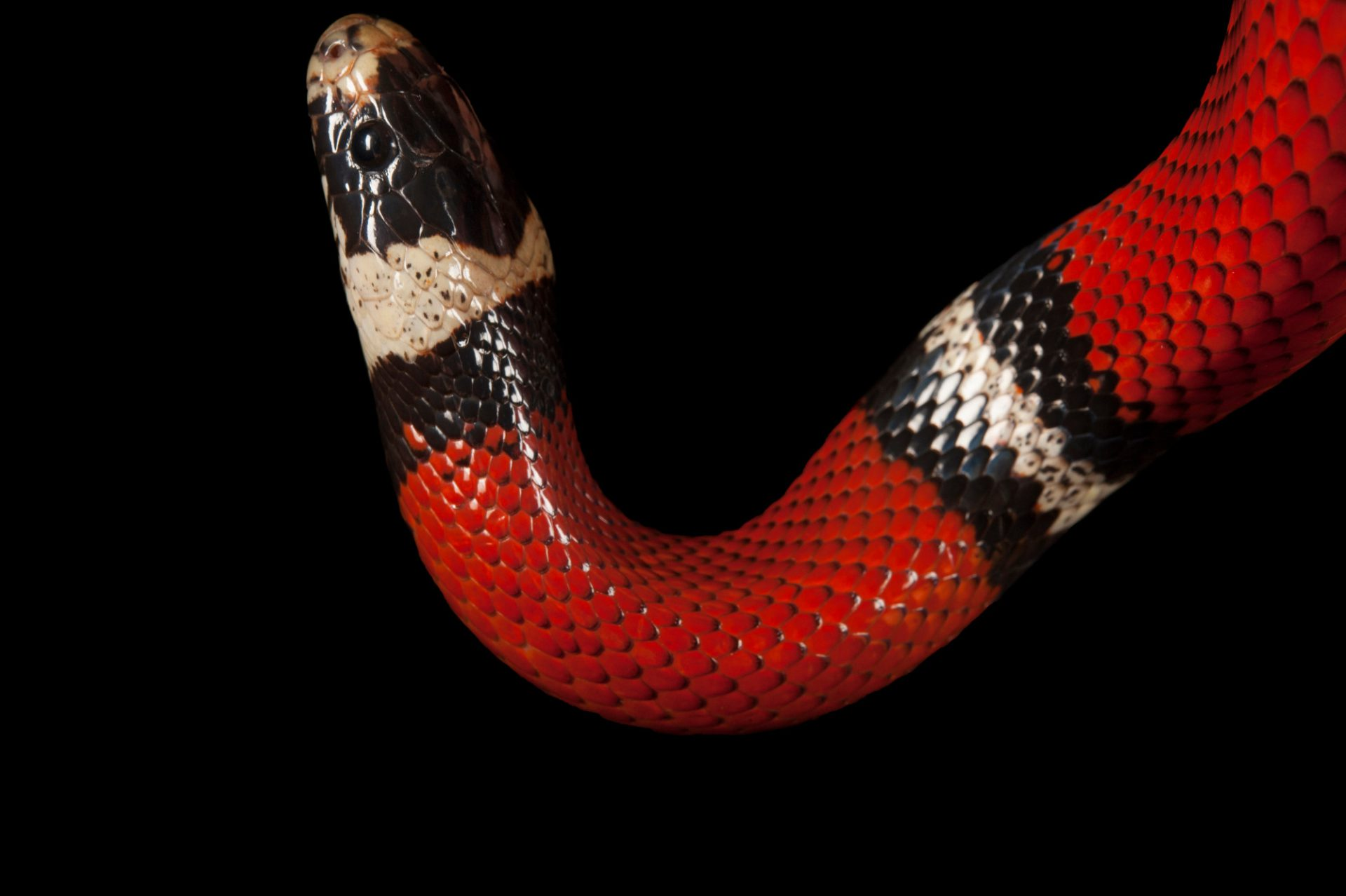 A sinaloan milksnake (Lampropeltis triangulum sinaloae) from the Gladys Porter Zoo in Brownsville, Texas.