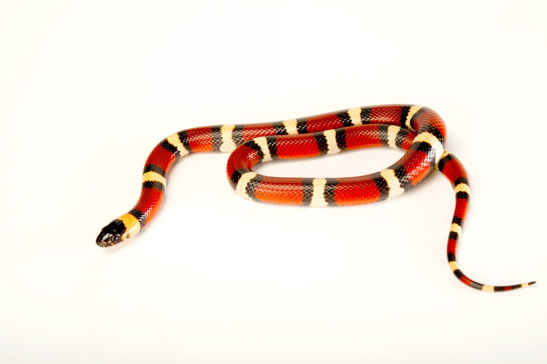 A Mexican milksnake (Lampropeltis triangulum annulata) at the Gladys Porter Zoo in Brownsville, Texas.
