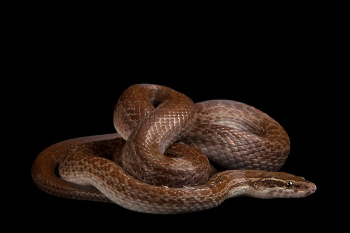 An African house snake (Lamprophis fuliginosus) at the Cleveland Metroparks Zoo.