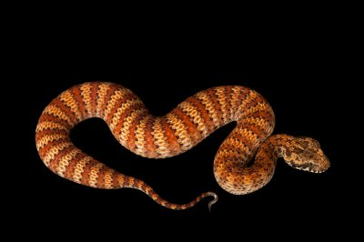 Picture of a common death adder (Acanthophis antarcticus) at the Omaha's Henry Doorly Zoo and Aquarium.