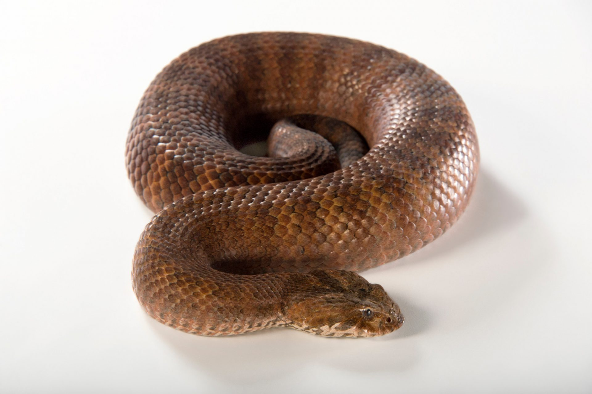 Picture of a common death adder (Acanthophis antarcticus) at the Healesville Sanctuary.