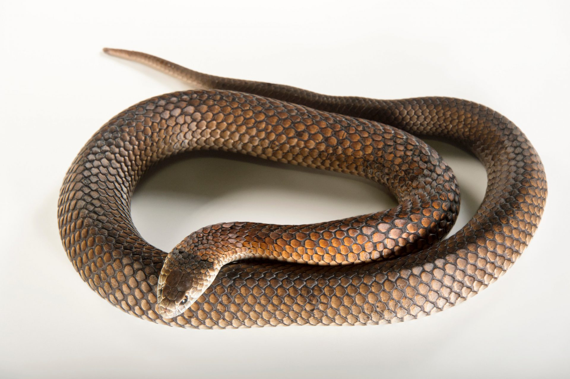 Picture of a lowland copperhead (Austrelaps superbus) at the Healesville Sanctuary.