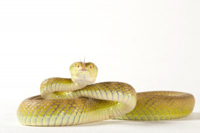 Photo: A white-lipped tree viper (Trimeresurus albolabris albolabris) at the Houston Zoo.