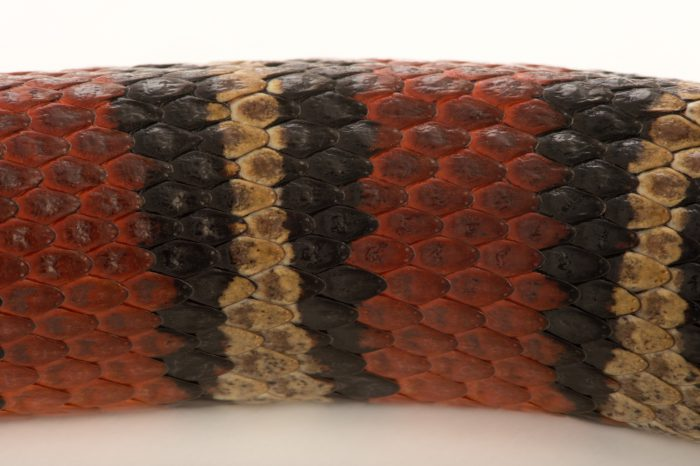 Photo: Mexican kingsnake (Lampropeltis ruthveni) at the Budapest Zoo.