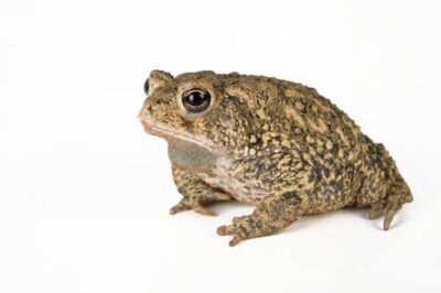 A Houston toad (Anaxyrus houstonensis) at the San Antonio Zoo. (US: Endangered, IUCN: Endangered)