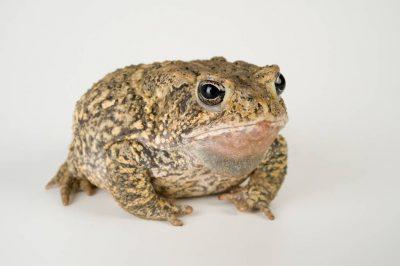 A Houston toad (Anaxyrus houstonensis) at the San Antonio Zoo. (US: Endangered, IUCN: Endangered)