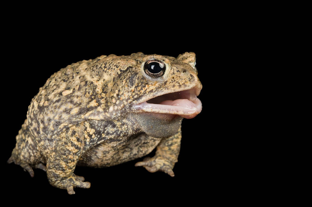 The endangered (IUCN) and federally endangered Houston toad (Anaxyrus houstonensis).
