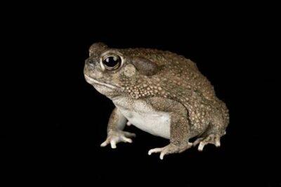 A Texas toad (Anaxyrus speciosus) at the San Antonio Zoo.