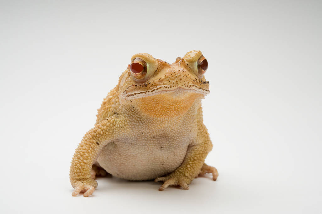 An albino Gulf Coast toad (Incilius valliceps) at the San Antonio Zoo.