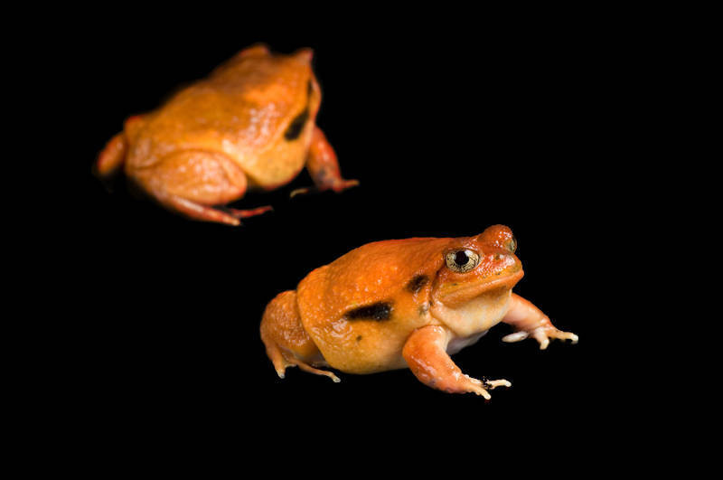 Photo: Two true tomato frogs (Dyscophus antongilii) at Omaha's Henry Doorly Zoo.