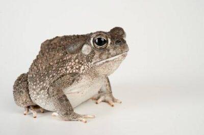 Photo: Texas toad (Bufo speciosus) at the San Antonio Zoo.