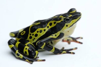 A harlequin frog (Atelopus sp.) photographed in Ecuador.