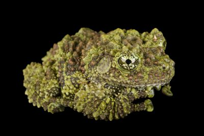 A pied mossy frog (Theloderma corticale) at the Houston Zoo.