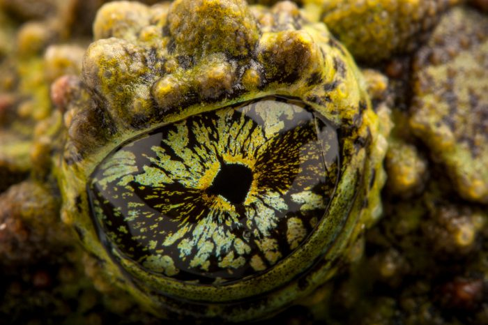 The eye of a pied mossy frog (Theloderma corticale) at the Houston Zoo.