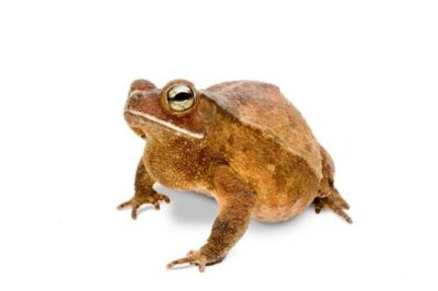 A crested toad (Bufo typhonius) at the Houston Zoo.