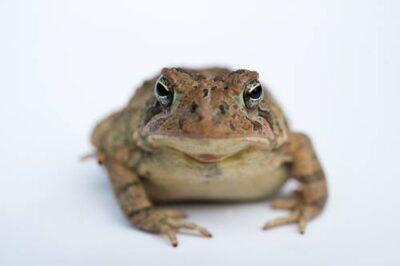 A Fowler's toad (Bufo fowleri) at Conasauga river.