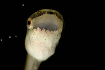A month-old hourglass treefrog tadpole (Dendropsophus or Hyla ebracatta) at the Henry Vilas Park Zoo.