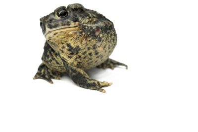 A Wyoming toad (Anaxyrus baxteri or Bufo baxteri) at the Omaha Zoo. (IUCN: Extinct in the wild; US: Endangered)