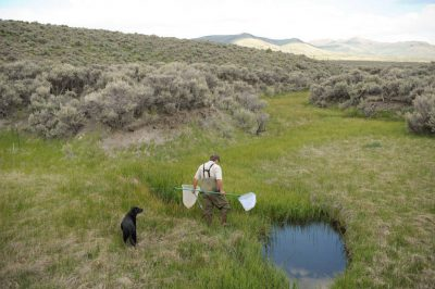 A US Fish and Wildlife Service (USFWS) employee searches for the Columbia spotted frog (Rana luteiventris) near Austin, Nevada.