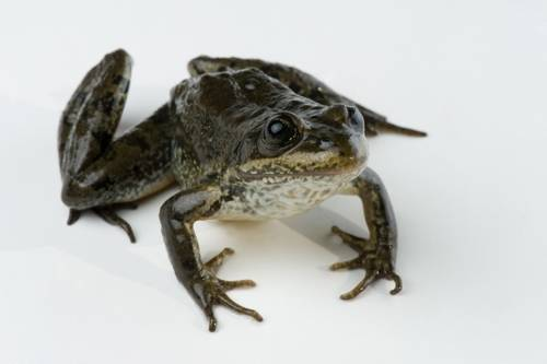 A Columbia spotted frog (Rana luteiventris) from the Toiyabe subpopulation near Austin, Nevada.