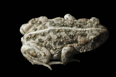 An endangered Amargosa toad (Anaxyrus nelsoni) near Beatty, Nevada.