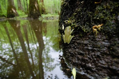 Photo: A tree frog at Bayou De View in the Cache River National Wildlife Refuge, Arkansas.