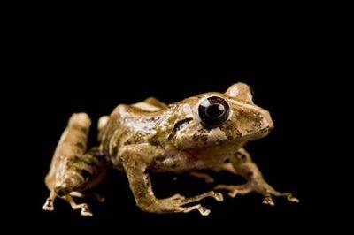 A robber frog (Pristimantis laticlavius) near Mindo, Ecuador.