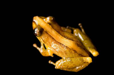 A vulnerable robber frog (Pristimantis calcarulatus) near Mindo, Ecuador.