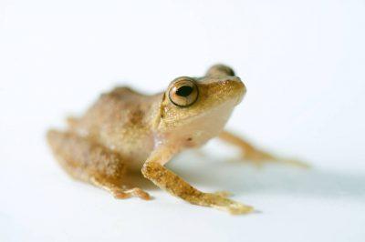 An endangered robber frog (Eleutherodactylus eugeniae) near Mindo, Ecuador.