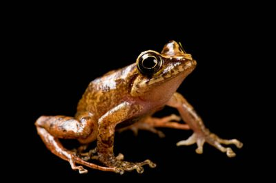 A robber frog (Eleutherodactylus sp.) near Mindo, Ecuador.