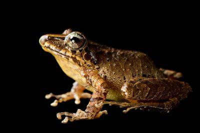 A robber frog (Pristimantis actites) near Mindo, Ecuador.
